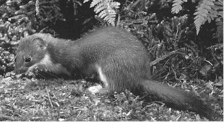 weasel bottom