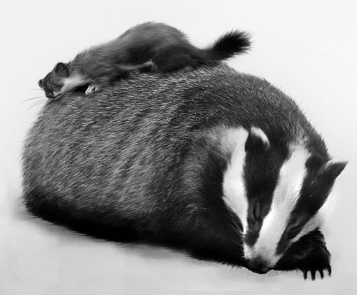 sleeping badger and weasel