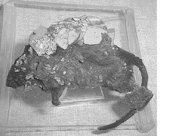 mouse pseudomorph