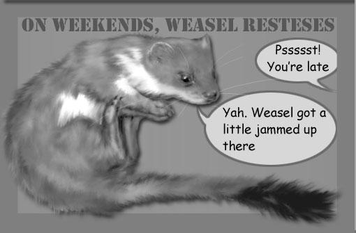 weasel resting
