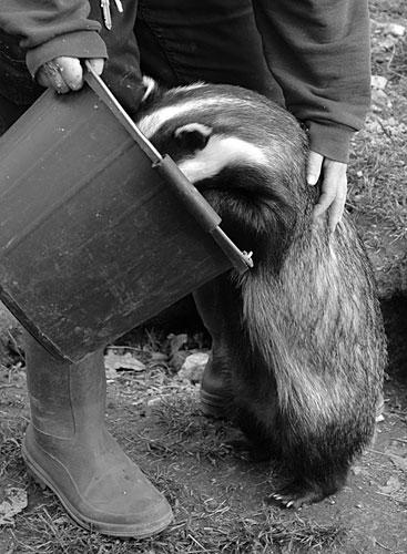 badger eating