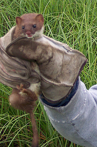 squeezing a weasel