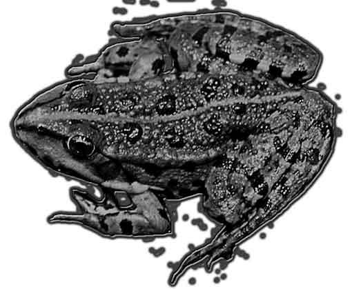 marshfrog