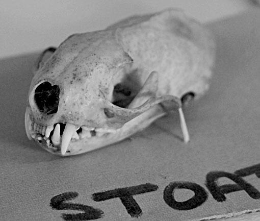 stoatskull