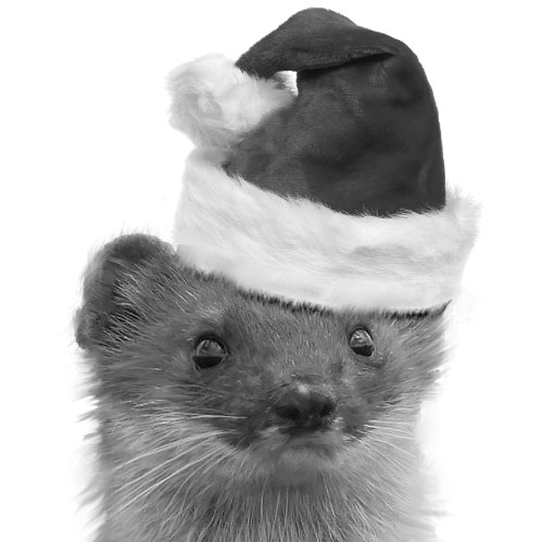 stoat in a hat
