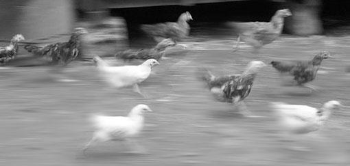 runningchickens